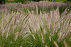 Beautiful Grasses in Atotonilco_2187