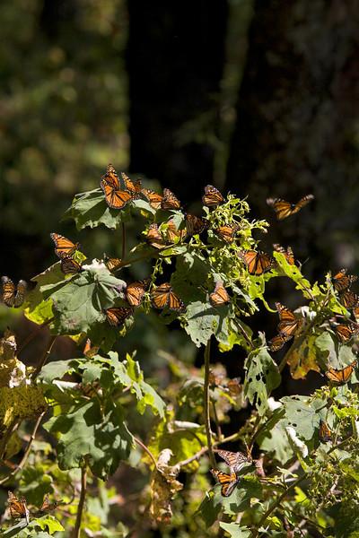 Monarch Butterfly Santuary 2124***