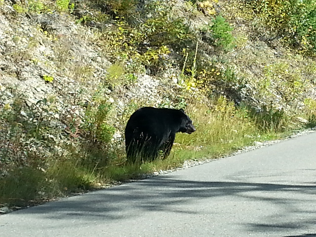Bear Going to the Sun Road Glacier National Park