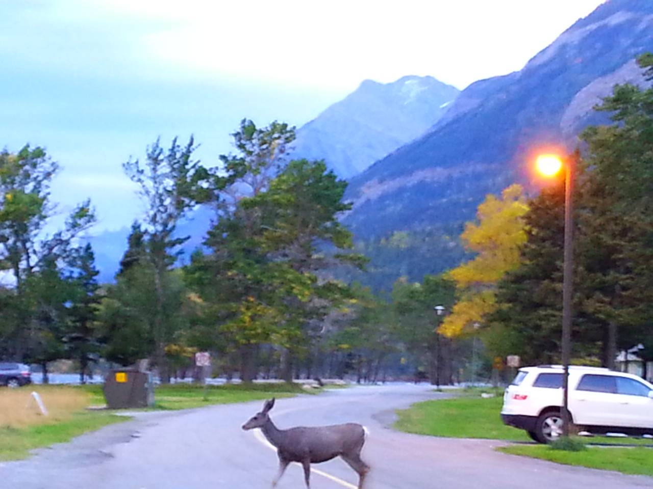 Waterton-deer out for a morning stroll