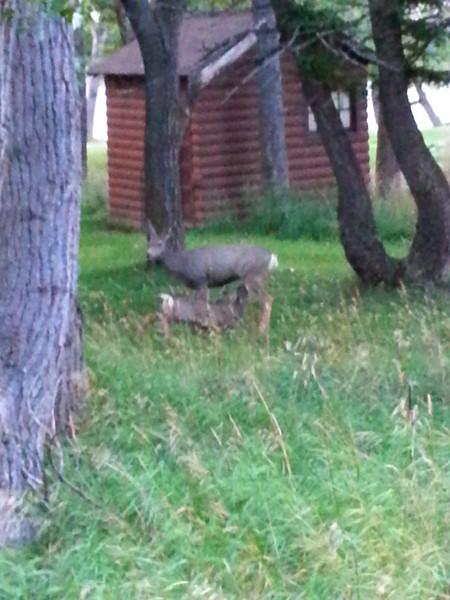 Waterton - Mom & baby deer