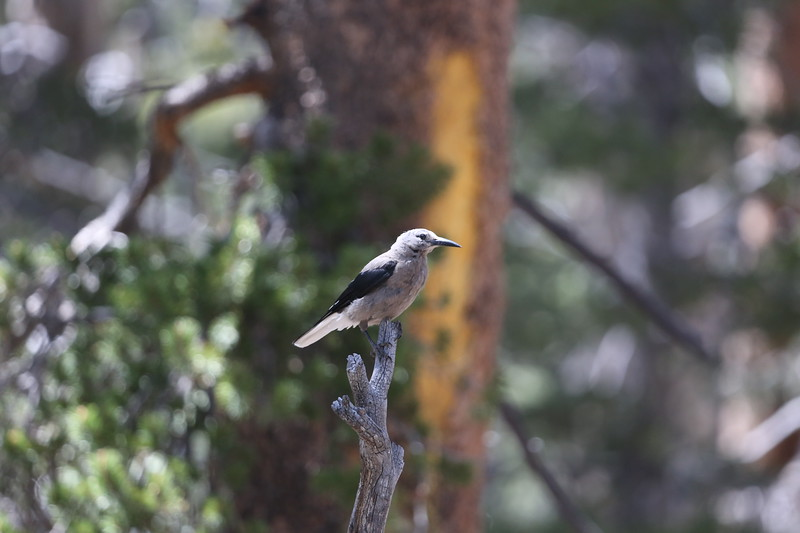 A Clark's Nutcracker poses for an instant.