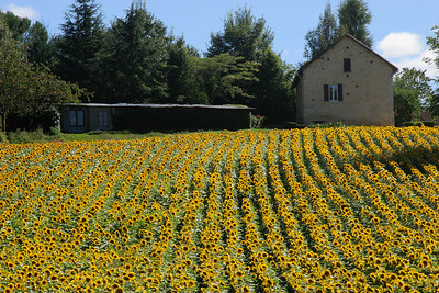 Girasols (sunflowers) in the Dordogne valley.