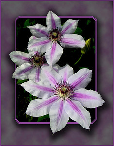 It was in York where I first learned the name of this flower:  Clematis.