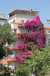 Bougainvillea grows well in Greece.