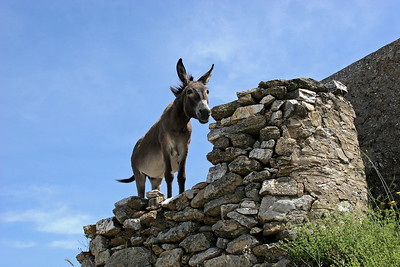 This donkey had walked up a hillside to the point, and seemed stuck when the land dropped off ahead of him.   Or, maybe, he was just enjoying the view from up there.