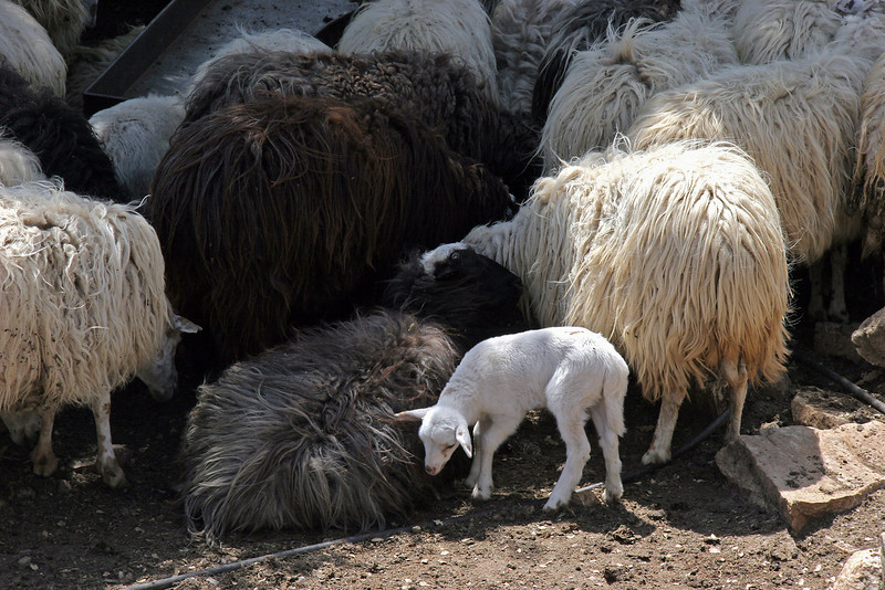 Sheep are another important commodity in Greece.  I like the variation in coat colors here.