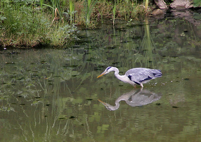 A Great Blue Heron in a pond at Himeji Castle.