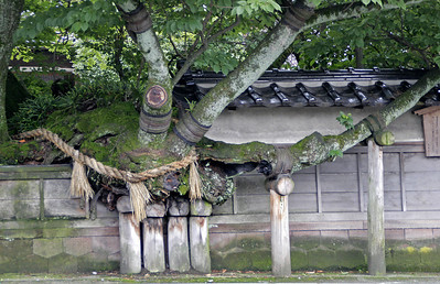 As we walked the streets of Kanazawa, we came across this marvelous old tree.