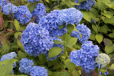 There are lots of hydrangeas in Balestrand.