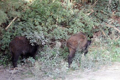 As we were walking from the parking lot to the house, these two wild pigs emerged out of the brush, right next to us.  The image is blurred because it was a quick shot before they disappeared back into the brush.
