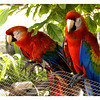 Two beautiful and colorful parrots.<br /> <br /> Devils Island now is being converted into a zoo like island with different animals, fowls and birds.