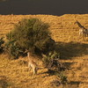 Flight over the Chobe River - Giraffe