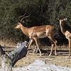 Impala Buck