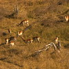 Flight over the Chobe River - Red Lechwe