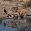 Kudo group at the watering hole