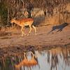 Impala at the watering hole