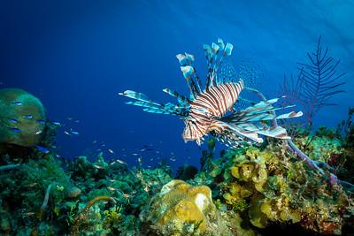 Lionfish, Bahamas