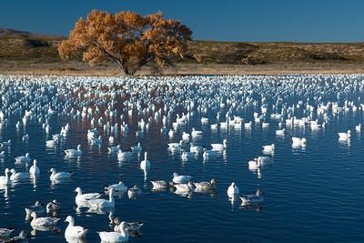 Snow Geese, Bosque Del Apache NWR, NM