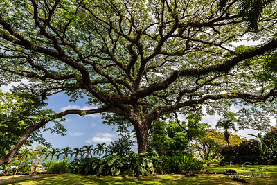 Giant 400 Year Old Saman Tree