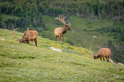 Male Elk, Rocky Mountain Nat'l Park, CO
