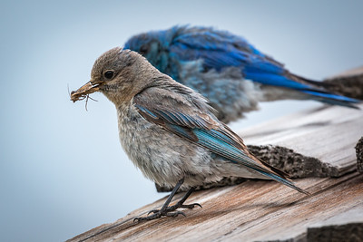 Female and Male Mountain Bluebirds, Rocky Mountain Nat'l Park, CO