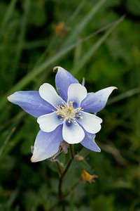 Columbine Flower, Rocky Mountain Nat'l Park, CO