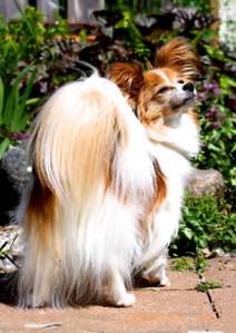 My mom's handsome papillon Reddi