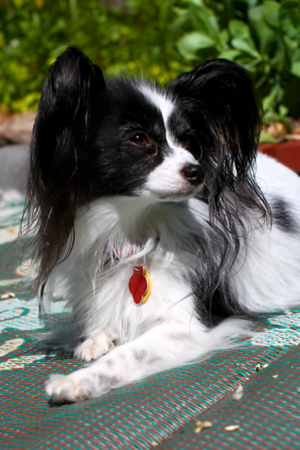 My mom's Papillion ...sweet Mz Lulu