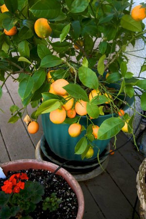 A beautiful Meyer Lemon on the warm patio