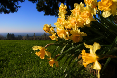 Had to get my jeans filthy to take this shot but totally worth it!!! I was almost lying on my tummy to get in the daffodils, vineyard and fog in the valley, ....all in one shot