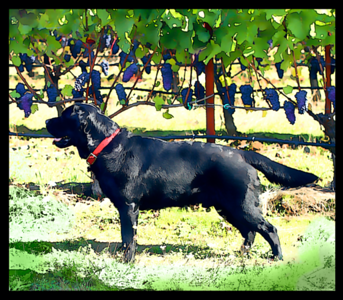 Cass, who gives grape flavored kisses.  This photo was so artsy in contrast I added a bit of cartoon flair to it