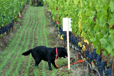 Steve was running up the other side of the vine row and Cass was watching his every move