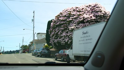 This is one of the biggest Rhododendrons I've ever laid my eyes on.  Look at the size of the truck next to it