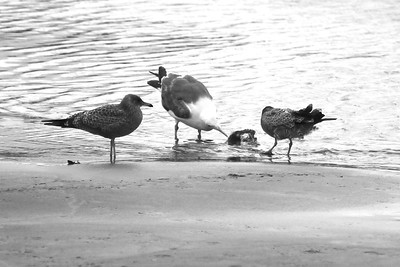 THE GULLS FOUND A COOL FISH HEAD TO PICK AT  Oregon Coast August 2012