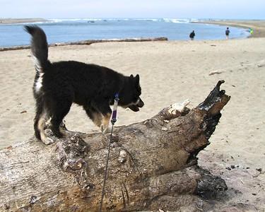 Onni working on his balance beam skills  Oregon Coast August 2012