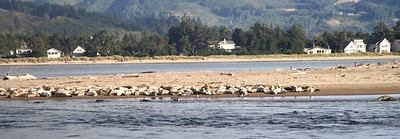 The seals on the sandbar across from our hotel room on Siletz Bay Oregon Coast August 2012