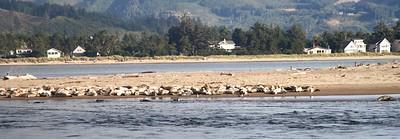 The seals on the sandbar across from our hotel room on Siletz Bay Oregon Coast August 2012