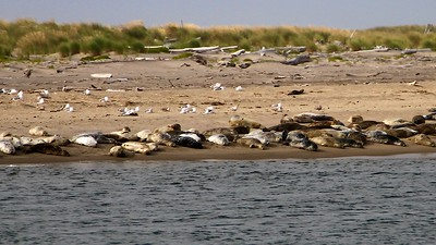 Oregon Coast August 2012 Some of the seals  living across the bay from our hotel