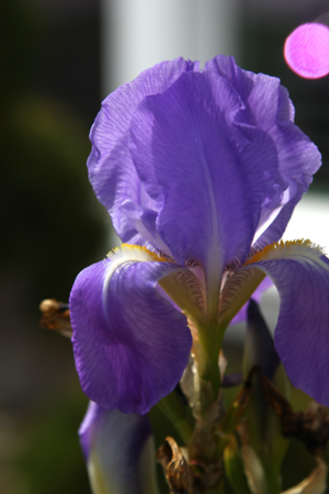 The iris in town were just starting to bloom