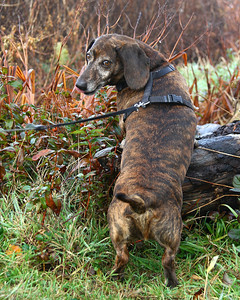 A winter solstice morning walk 12-21-13  My handsome new Standard Dachshund friend named Cocoa