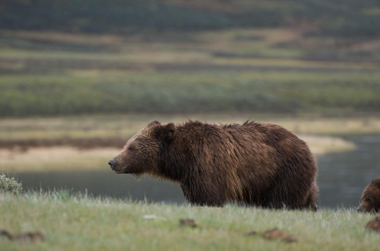 Bear profile.