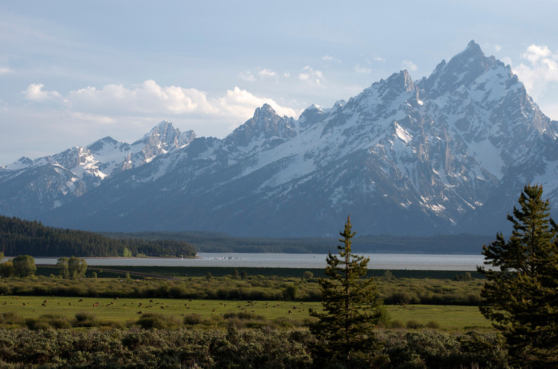 Herd of deer or elk by Jackson Lake in Grand Teton National Park.