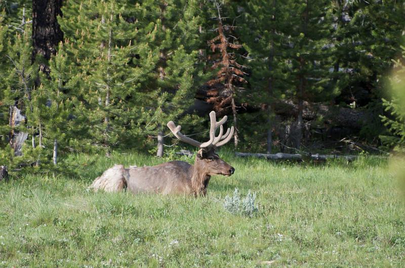 Bull elk.