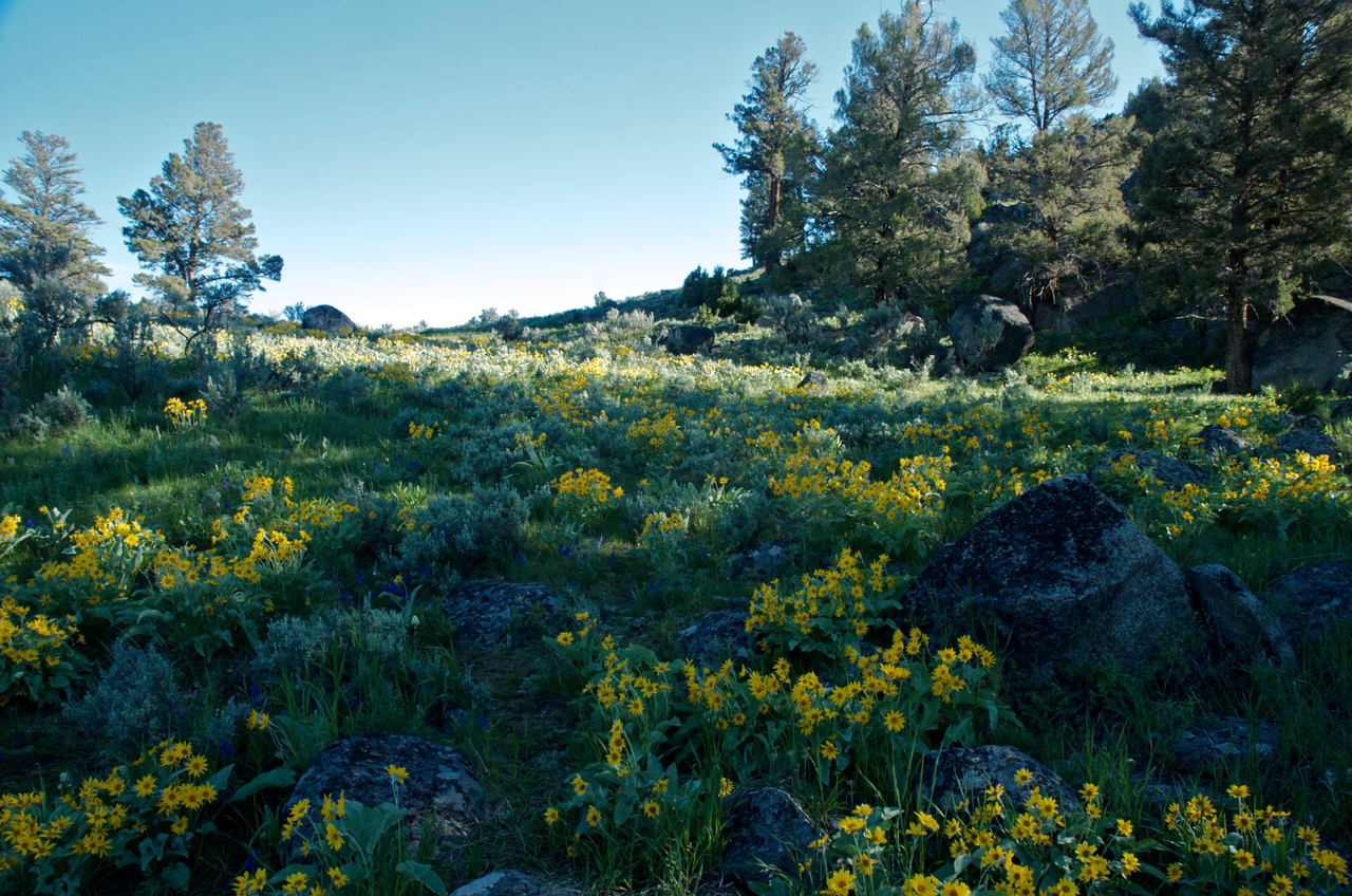 Lamar Valley in bloom.  Yellowstone National Park.