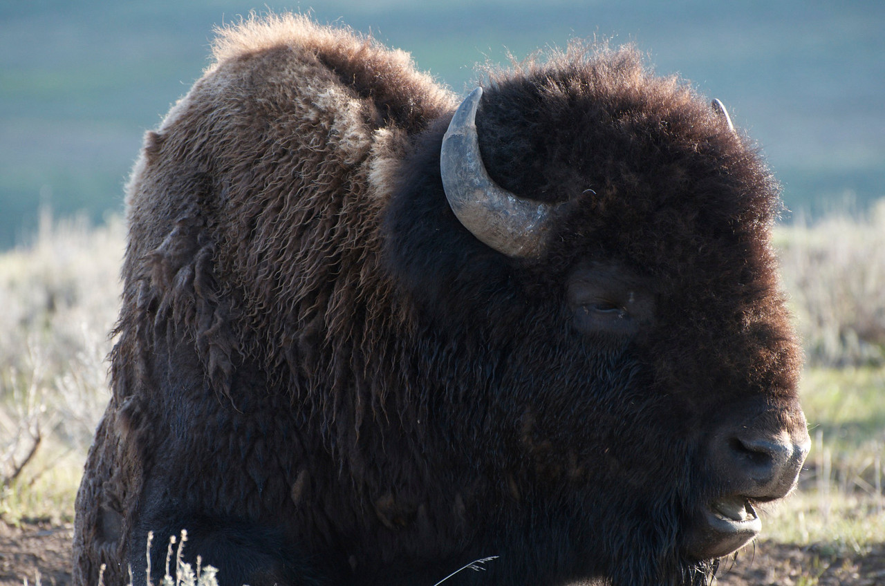 Bison sitting by the road....he was really close to our car and seemed to like having his picture taken by us.