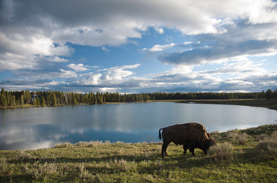 Bison, Lake, Sky = beautiful evening in the Fishing Bridge area of Yellowstone NP.