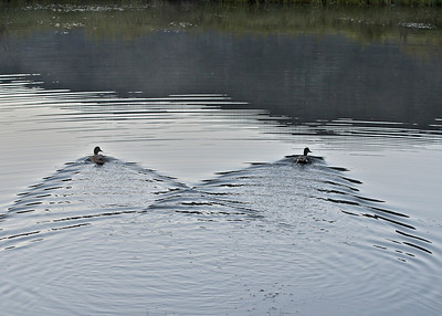 2 ducks and their wakes.  Jackson, WY.