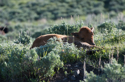 Baby bison in the morning.