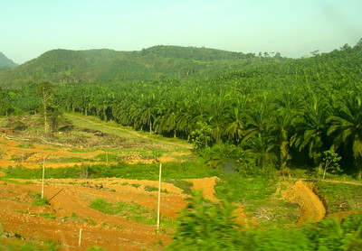Endless palm plantations which cover Malaysia and are fast replacing the lush wild jungles